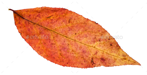 red leaf of willow tree isolated on white - Stock Photo - Images