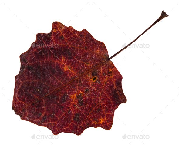 red fallen leaf of aspen tree isolated on white - Stock Photo - Images