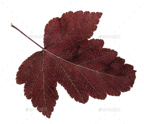 fallen leaf of viburnum tree isolated on white - Stock Photo - Images
