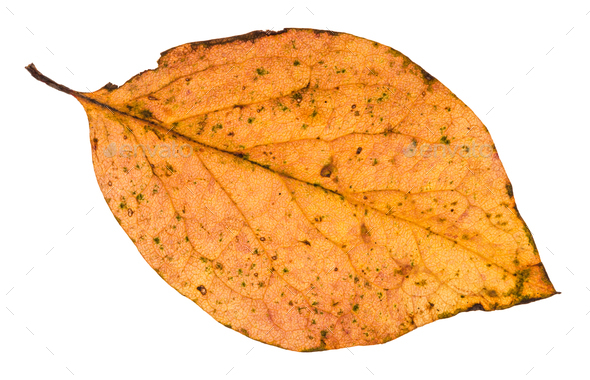 fallen leaf of poplar tree isolated on white - Stock Photo - Images
