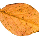 fallen leaf of poplar tree isolated on white - PhotoDune Item for Sale