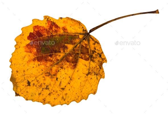autumn yellow fallen leaf of aspen tree isolated - Stock Photo - Images
