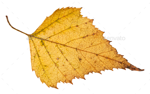 fallen leaf of birch tree isolated on white - Stock Photo - Images