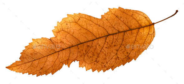 back side of broken leaf of ash tree isolated - Stock Photo - Images