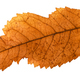 back side of broken leaf of ash tree isolated - PhotoDune Item for Sale