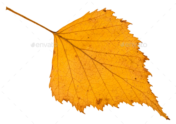 fallen autumn yellow leaf of birch tree isolated - Stock Photo - Images
