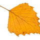 fallen autumn yellow leaf of birch tree isolated - PhotoDune Item for Sale