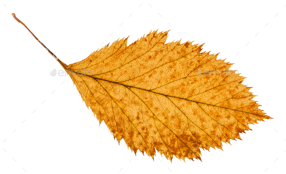 rotten dried leaf of hawthorn tree isolated - Stock Photo - Images