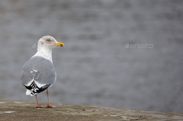 Seagull near the sea  - Stock Photo - Images