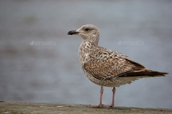 Herring Gull near the sea  - Stock Photo - Images