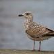 Herring Gull near the sea  - PhotoDune Item for Sale
