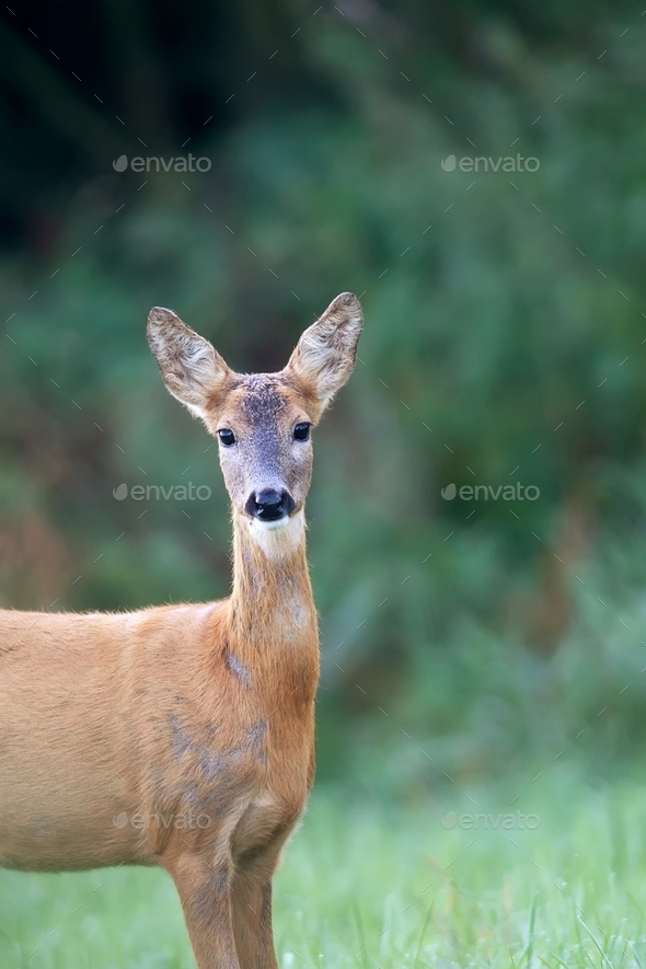 Roe deer in a clearing, a portrait - Stock Photo - Images