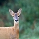 Roe deer in a clearing, a portrait - PhotoDune Item for Sale