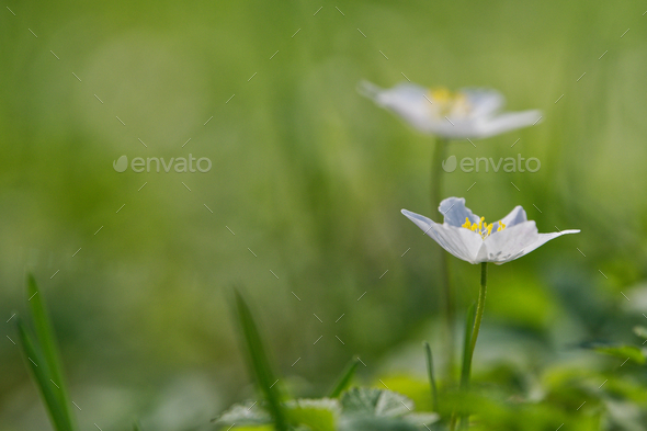 Spring flower wood anemone (Anemone nemorosa) in a nature - Stock Photo - Images
