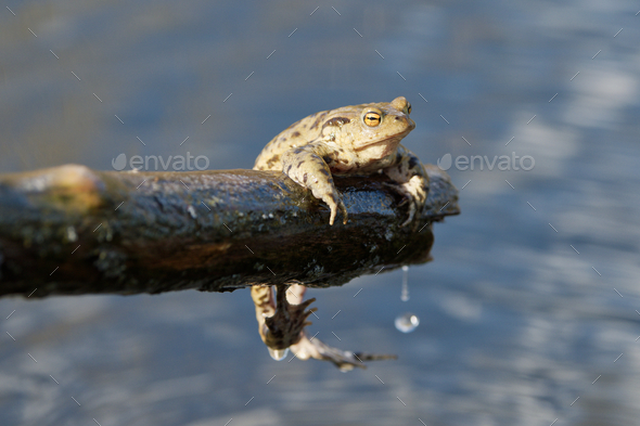 Common toad (Bufo bufo) in a nature - Stock Photo - Images