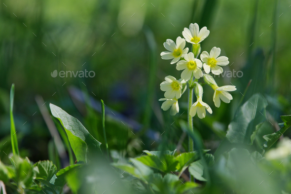 Cowslip  (Primula veris) in a wild - Stock Photo - Images