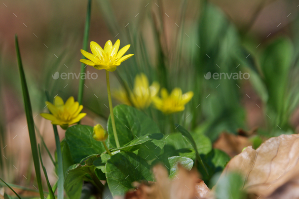 Spring flower lesser celandine (Ficaria verna) in a nature - Stock Photo - Images