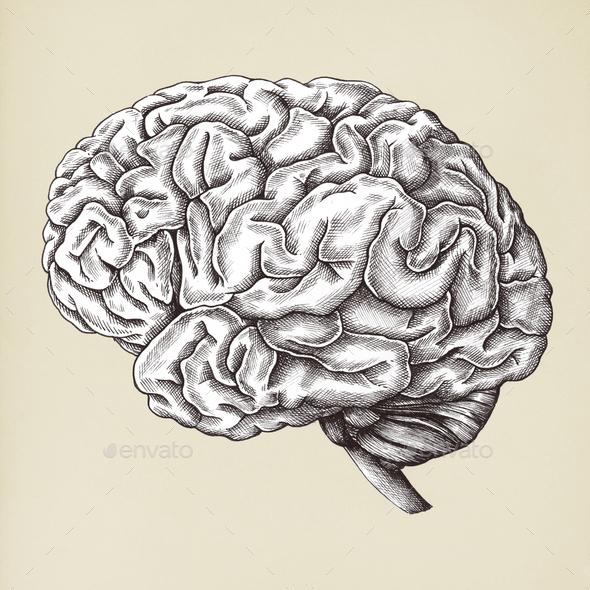Brain internal organ vintage style illustration - Stock Photo - Images