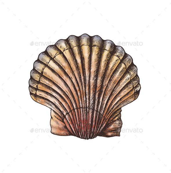 Hand drawn scallop saltwater clams - Stock Photo - Images