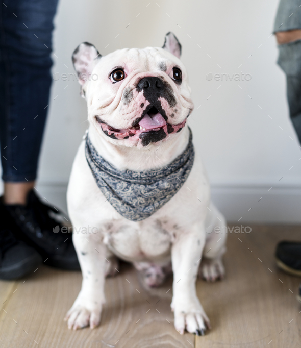 Closeup of French bulldog - Stock Photo - Images