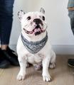 Closeup of French bulldog - PhotoDune Item for Sale