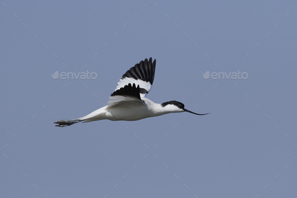 Pied avocet (Recurvirostra avosetta) - Stock Photo - Images