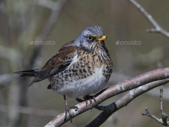 Fieldfare (Turdus pilaris) - Stock Photo - Images