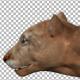 Cougar - Puma Hunt Walk - VideoHive Item for Sale