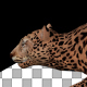Leopard Hunt Walk - VideoHive Item for Sale