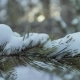 Shot of Pine Tree Branch - VideoHive Item for Sale