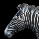 Zebra Trotting - VideoHive Item for Sale