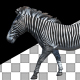 Zebra Walk Animation - VideoHive Item for Sale