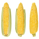 Three husked cobs of sweet corn, isolated, over white - PhotoDune Item for Sale