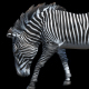 Zebra Walk - VideoHive Item for Sale