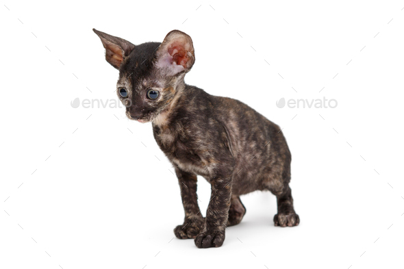 Small kitten breed Cornish Rex - Stock Photo - Images