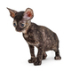 Small kitten breed Cornish Rex - PhotoDune Item for Sale