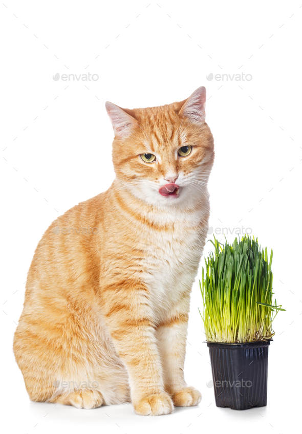 Beautiful red cat and green grass - Stock Photo - Images