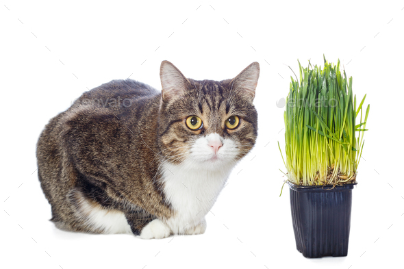Beautiful gray cat and green grass - Stock Photo - Images