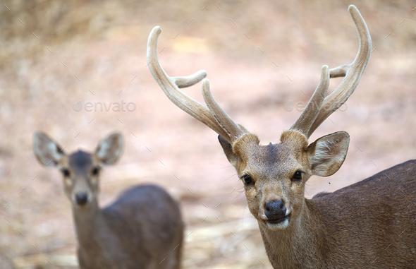 hog deer (Hyelaphus porcinus) - Stock Photo - Images