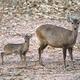 hog deer (Hyelaphus porcinus) - PhotoDune Item for Sale