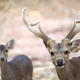 hog deer (Hyelaphus porcinus) - PhotoDune Item for Sale