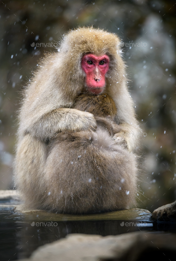 Snow monkey (Japanese Macaque) in a snowstrom, Nagano, Japan - Stock Photo - Images