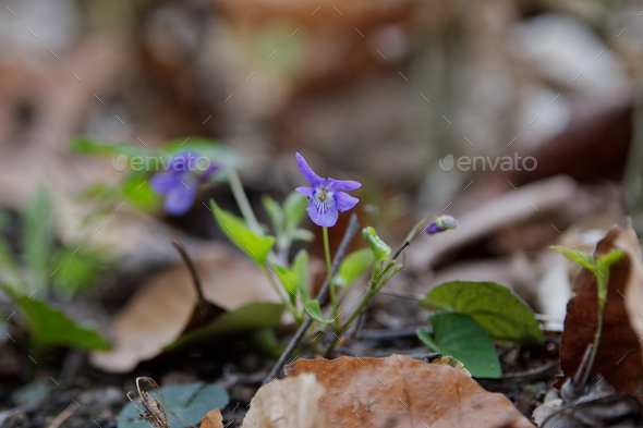 Pale wood violet (Viola reichenbachiana) in a nature - Stock Photo - Images