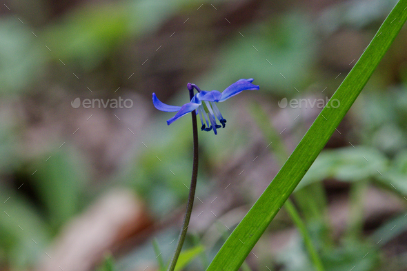 Blue spring flower (Scilla) in a nature - Stock Photo - Images