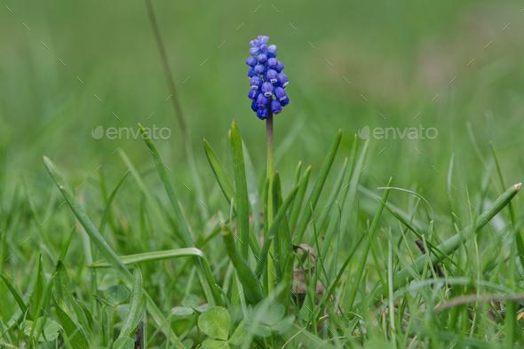 Tender blue muscari flower (Muscari armeniacum) in a nature - Stock Photo - Images