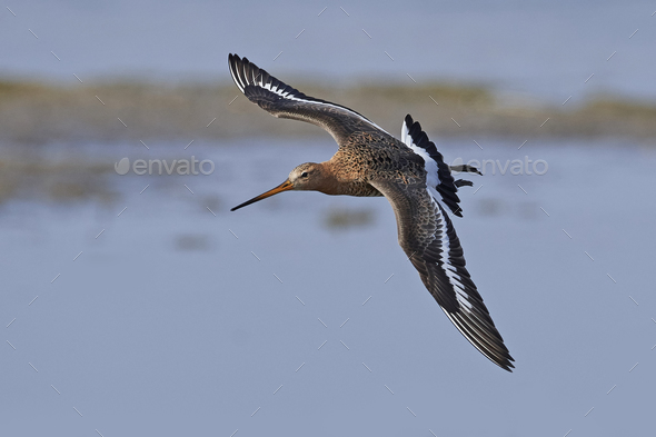 Black-tailed godwit (Limosa limosa) - Stock Photo - Images