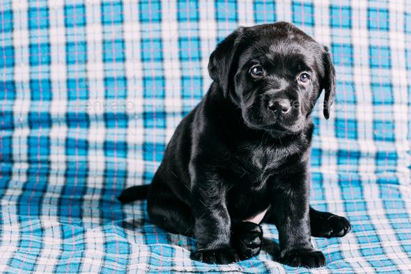 Beautiful Black Labrador Puppy Dog - Stock Photo - Images