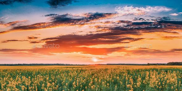 Sunset Sunrise Sky Over Horizon Of Spring Flowering Canola, Rape - Stock Photo - Images