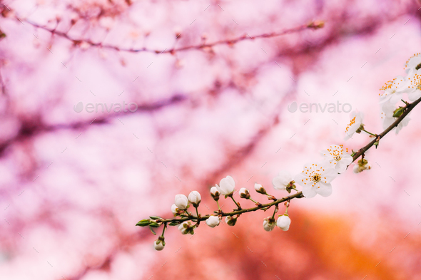 Blooming Cherry Flowers Branch In Spring Garden. Trees Flowers B - Stock Photo - Images
