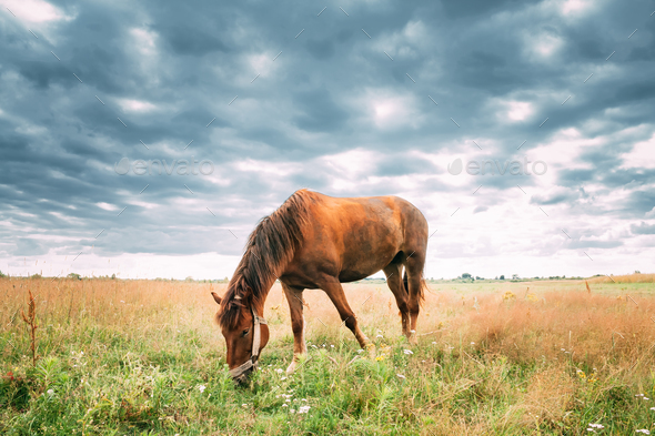 Red Horse Grazing Grass In Summer Meadow. - Stock Photo - Images